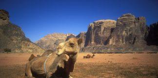 Dromadaire, désert du Wadi Rum, Jordanie©Martin Bohn