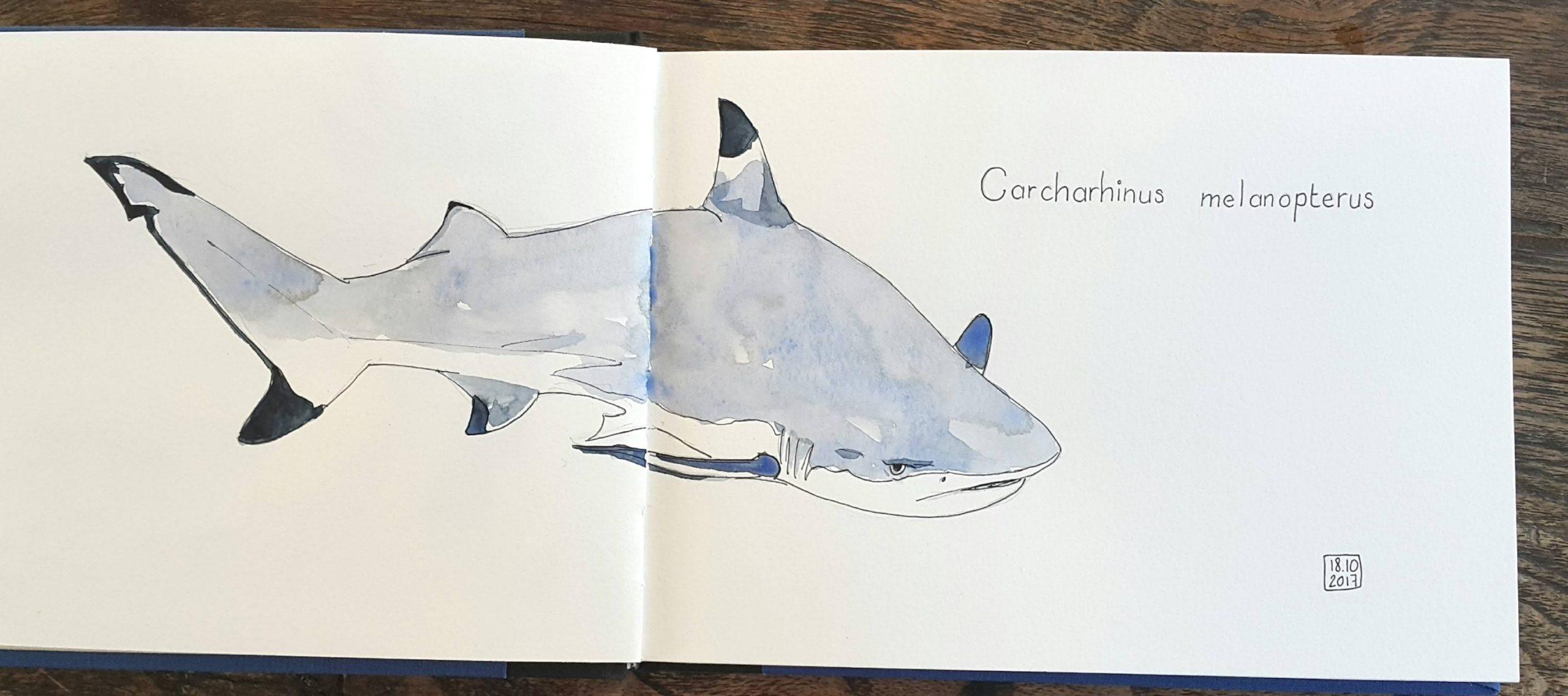 requin pointe noire-dessin aquarelle ©Martin BOHN